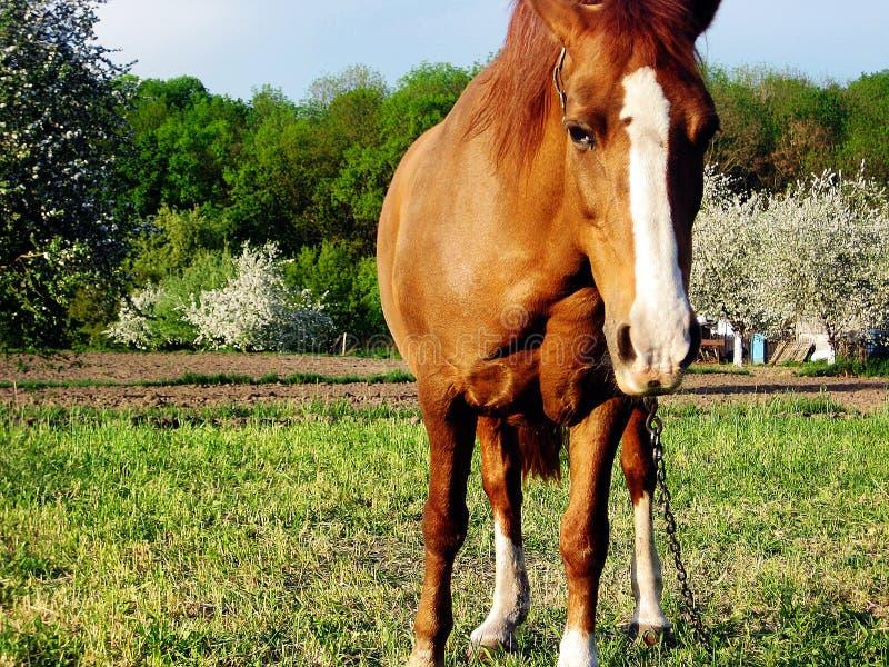 Schöner wilder brauner Pferdehengst auf Sommerblumenwiese stockbilder