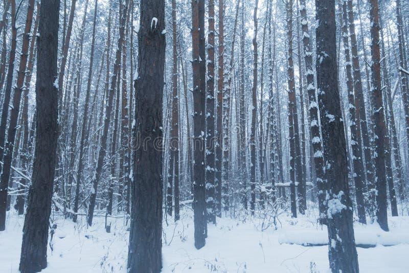 Schöner Winterwald, Bäume im Winterwald Schweden lizenzfreies stockfoto