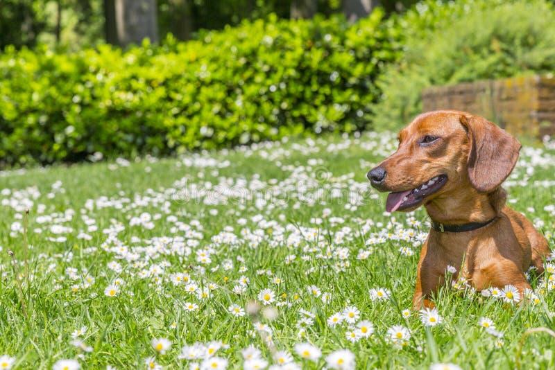 Schöner Wursthund, der auf einem grünen Gras liegt lizenzfreie stockbilder