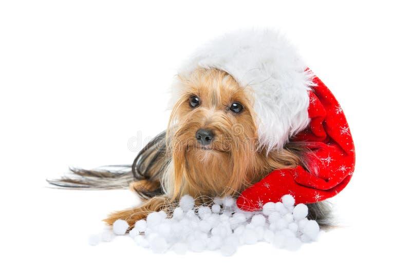 Schöner Yorkshire-Terrier in Weihnachtshut lizenzfreie stockbilder