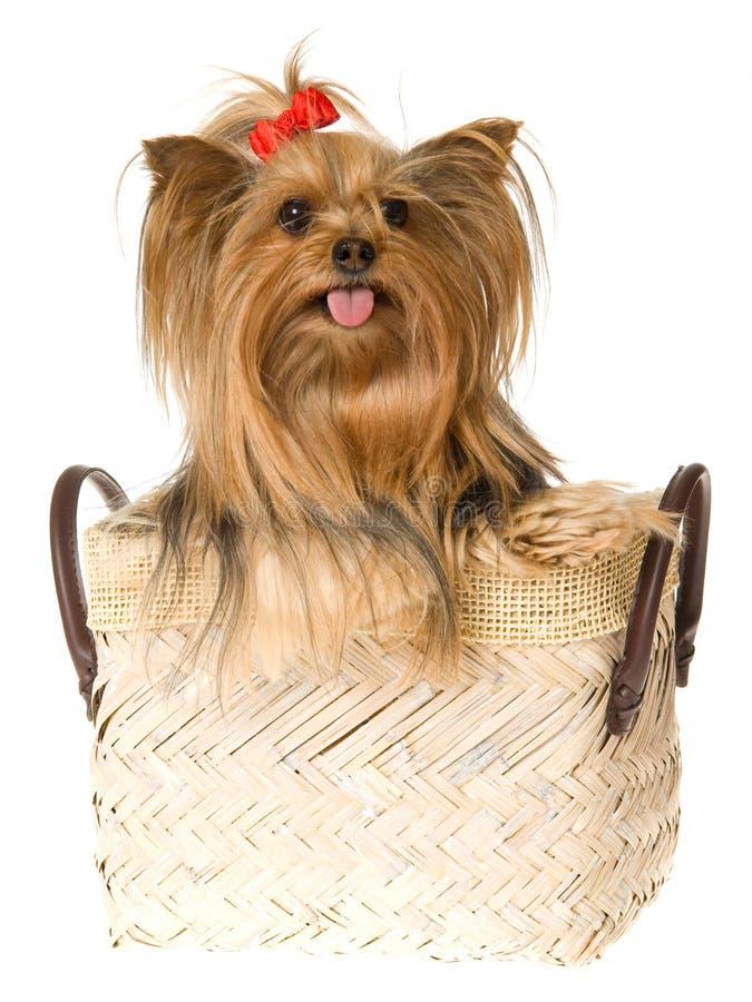 Schöner Yorkshite Terrier im braunen Korb lizenzfreie stockbilder