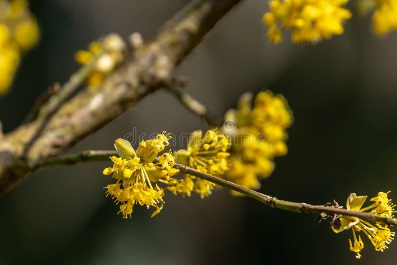 Sch?ner Zweig mit hellen gelben Blumen auf unscharfem dunklem Hintergrund der Natur Weiche selektive MakrofokusKornelkirschebl?te stockbild