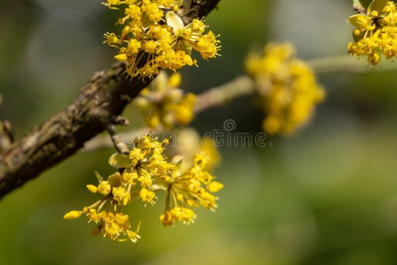 Sch?ner Zweig mit hellen gelben Blumen auf unscharfem nat?rlichem gr?nem Hintergrund Weiche selektive MakrofokusKornelkirschebl?t stockfoto