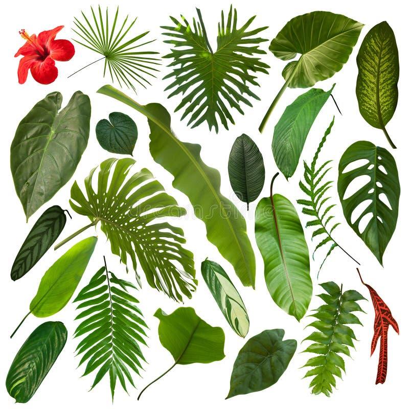 Schönere exotische tropische Blätter, lokalisiert lizenzfreie stockfotos