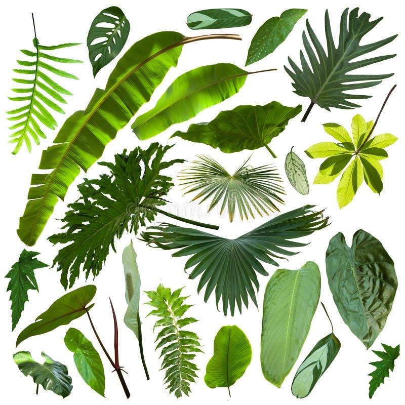 Schönere exotische tropische Blätter, lokalisiert stockfoto