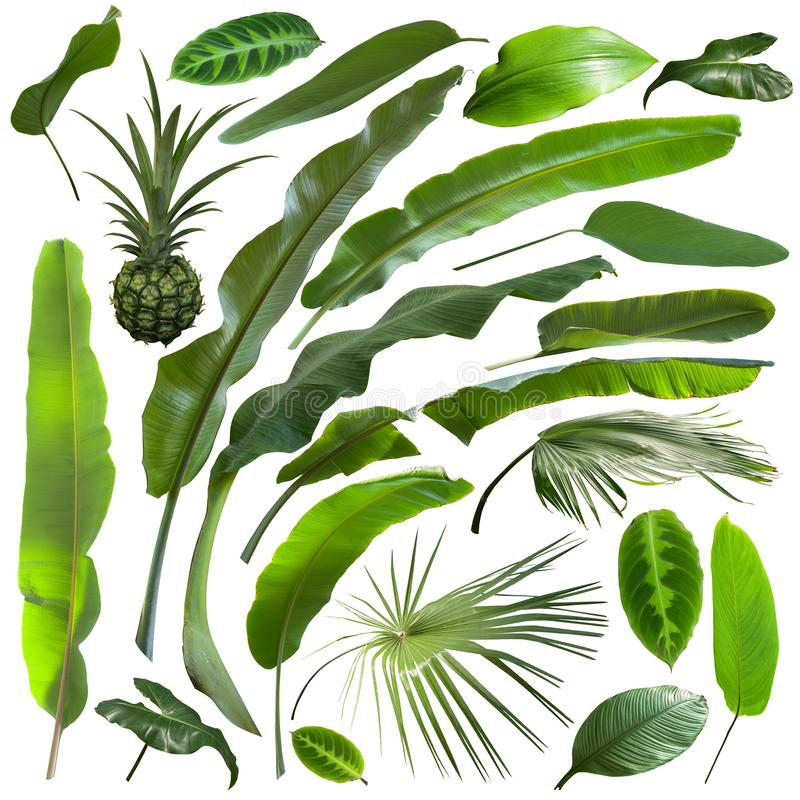 Schönere exotische tropische Blätter, lokalisiert lizenzfreie stockfotografie