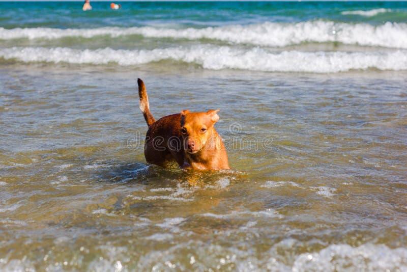 Schönes ââ-'¬â€ ¹ ââ-'¬â€ ¹ des streunenden Hundes, das nach einer Weise sucht, seine Eigentümer im Wasser auf einem freien Str lizenzfreie stockfotos
