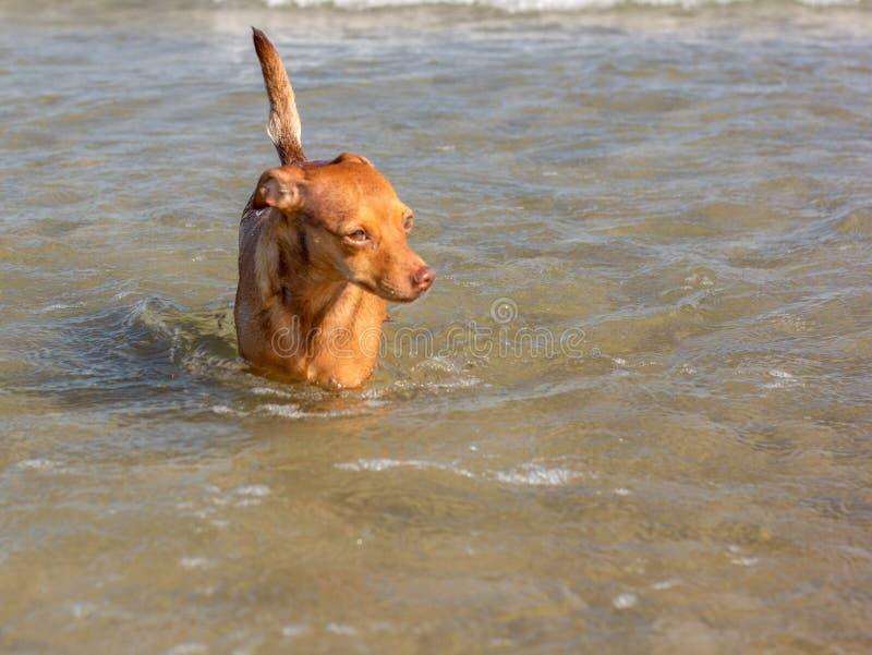 Schönes ‹â€ ‹â€ des streunenden Hundes, das nach einer Weise sucht, seine Eigentümer im Wasser auf einem freien Strand zu erreich stockfotografie