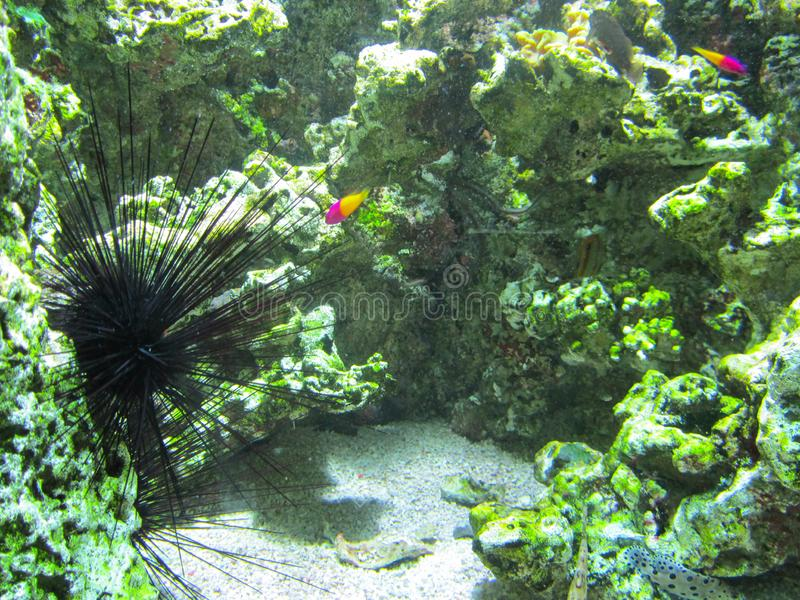 Schönes Aquarium mit einem Seeigel stockfotos