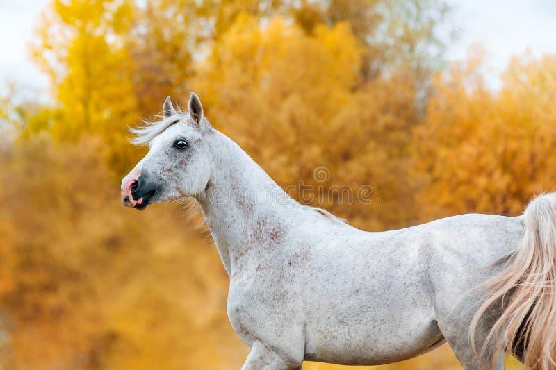 Schönes ausdrucksvolles Porträt eines weißen Hengst Arabers lizenzfreie stockfotografie