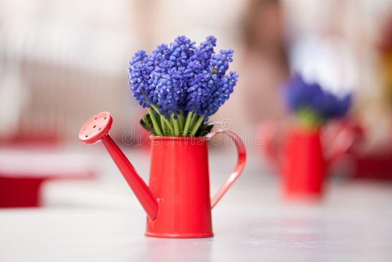 Schönes Bündel der Muscari- oder Traubenhyazinthe in einer kleinen roten Gießkanne Gie?kanne-Blumen stockbild