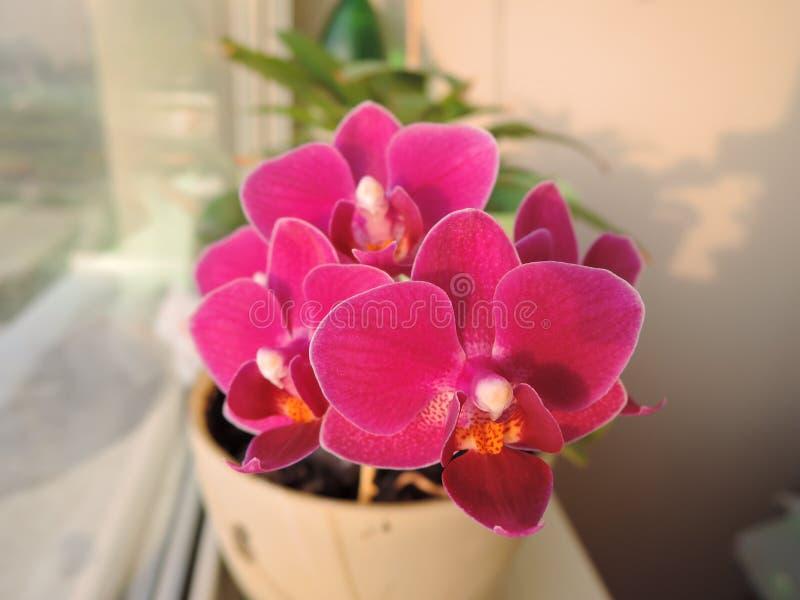 Schönes Bündel der purpurroten rosa Miniorchidee lizenzfreie stockfotos