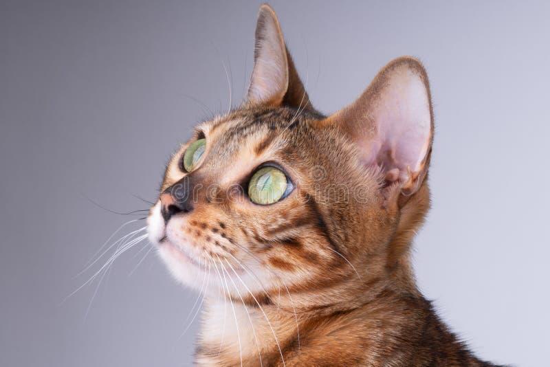 schönes Bengal-Katzenporträt auf einem weißen Hintergrund, clouse oben stockbilder