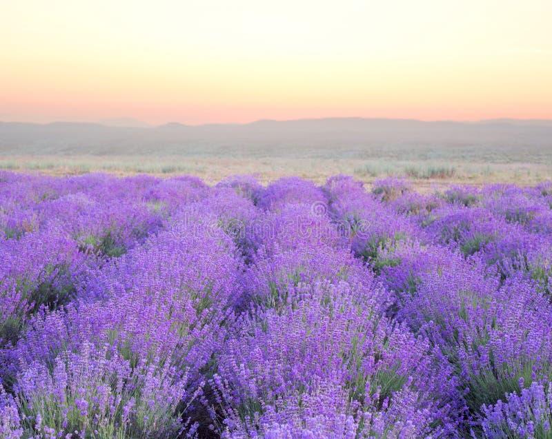 Schönes Bild des Lavendels lizenzfreie stockbilder