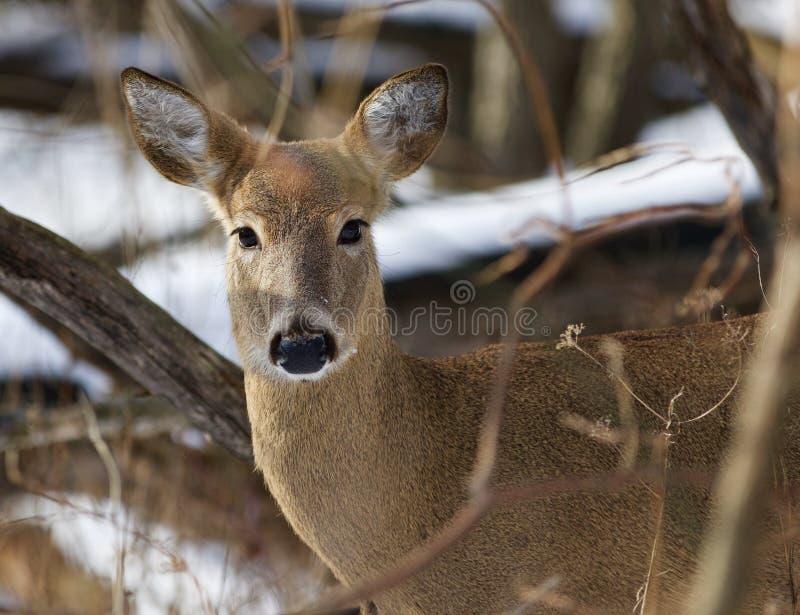 Schönes Bild mit den sehr netten wilden Rotwild im Wald lizenzfreies stockfoto