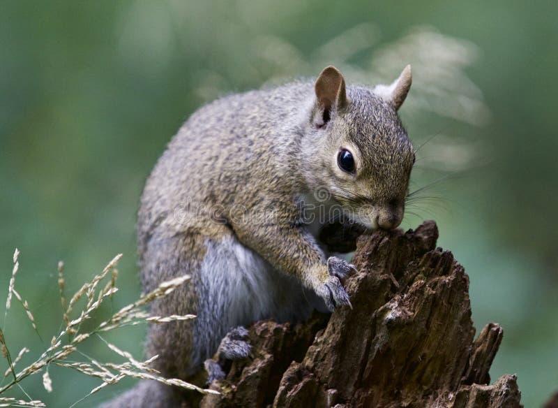 Schönes Bild mit einem netten lustigen Eichhörnchen auf einem Stumpf stockbilder