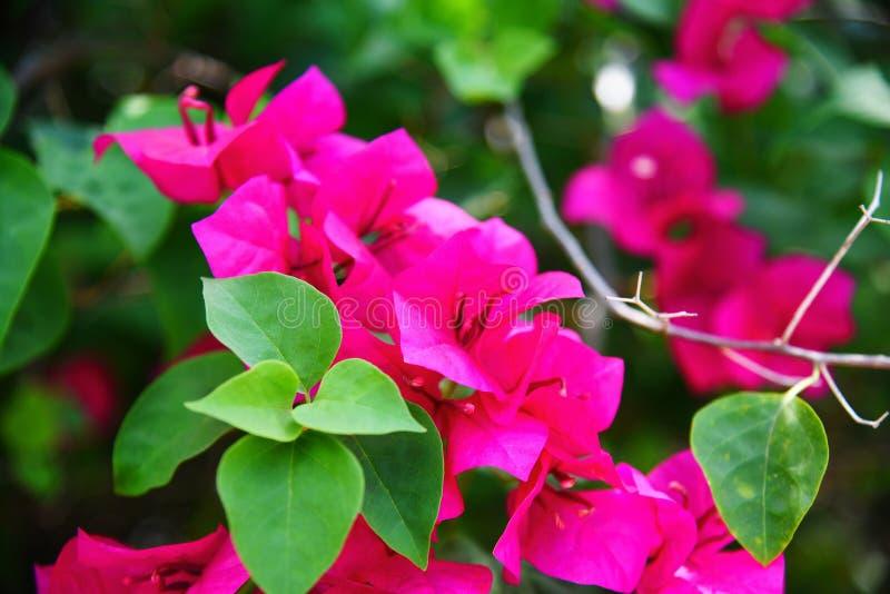Schönes Blühen der rosa Bouganvillablume im Gartenpark stockbilder