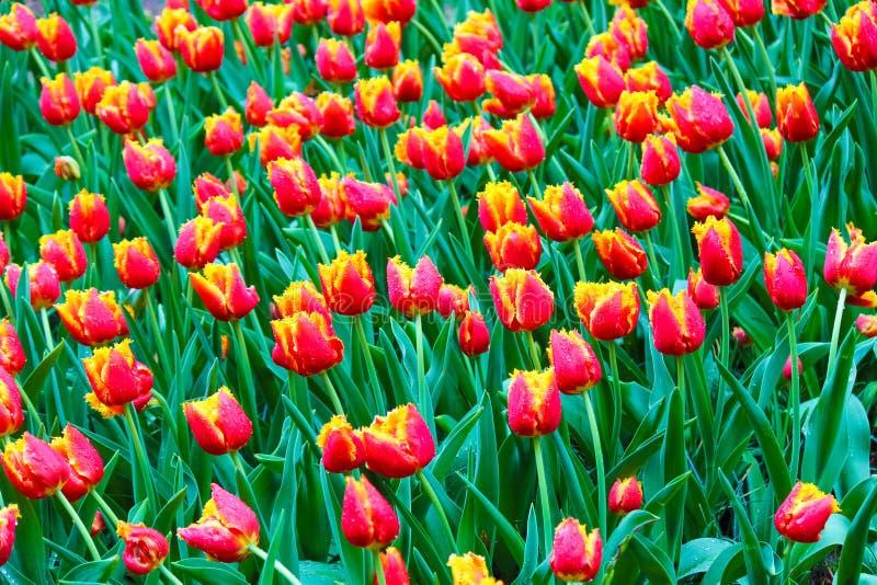 Schönes Blumenbeet mit roten gelben Tulpen Morgentautropfen auf den bunten Blumenblättern Erstaunliche Blumen Holl?ndische Tulpe lizenzfreie stockbilder