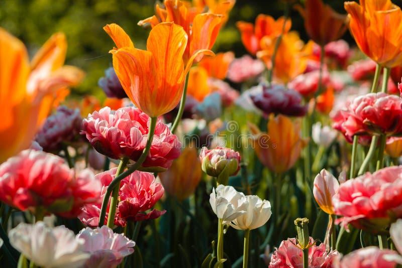 Schönes Blumenbeet voll von blühenden Tulpen und von Pfingstrosen bei Frederik Meijer Gardens in Grand Rapids Michigan lizenzfreie stockfotos