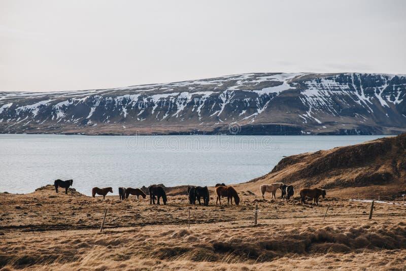 schönes Braun und Rappen, die auf Weide mit Golf und Bergen hinten, Island, hvalfjardarvegur weiden lassen lizenzfreie stockbilder