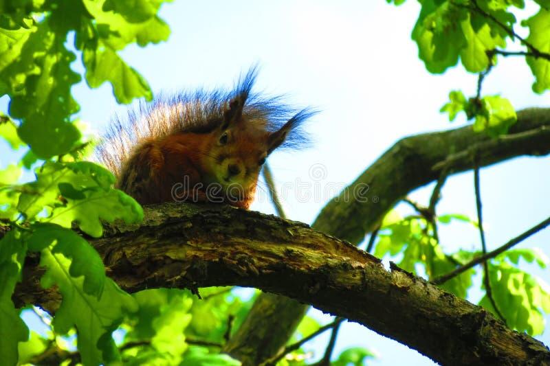 Schönes braunes Eichhörnchen auf Baumast, Litauen stockbilder