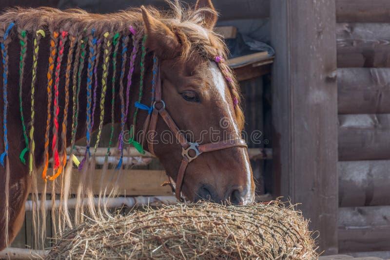 Schönes braunes Pferdeessen stockbild