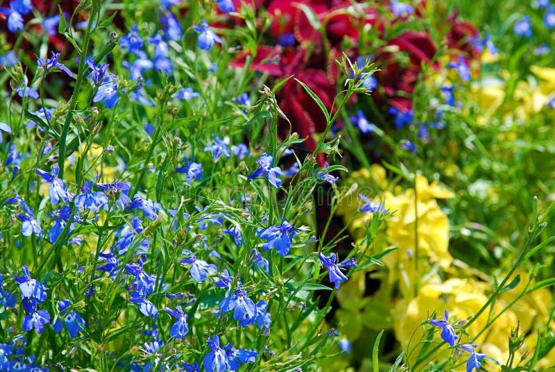 Schönes buntes Sommerblumenbeet mit blauem Lobeliaabschluß oben stockbilder