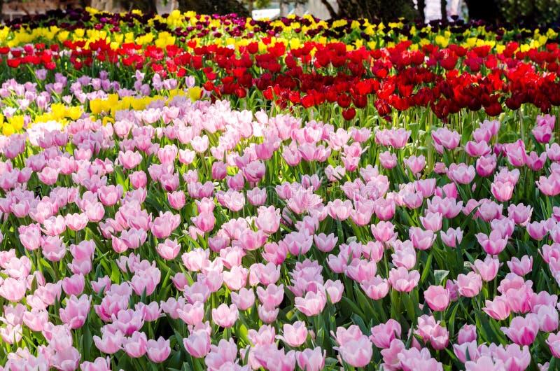 Schönes buntes Tulpenblumenfeld im Garten lizenzfreies stockbild