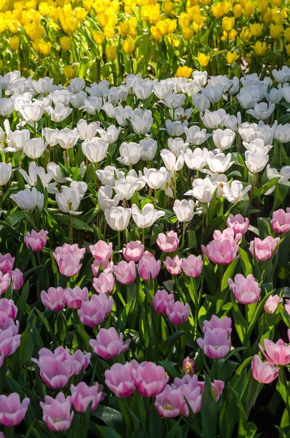 Schönes buntes Tulpenblumenfeld im Garten stockfotografie