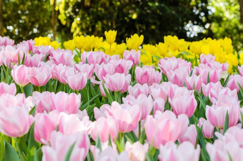 Schönes buntes Tulpenblumenfeld im Garten lizenzfreie stockbilder