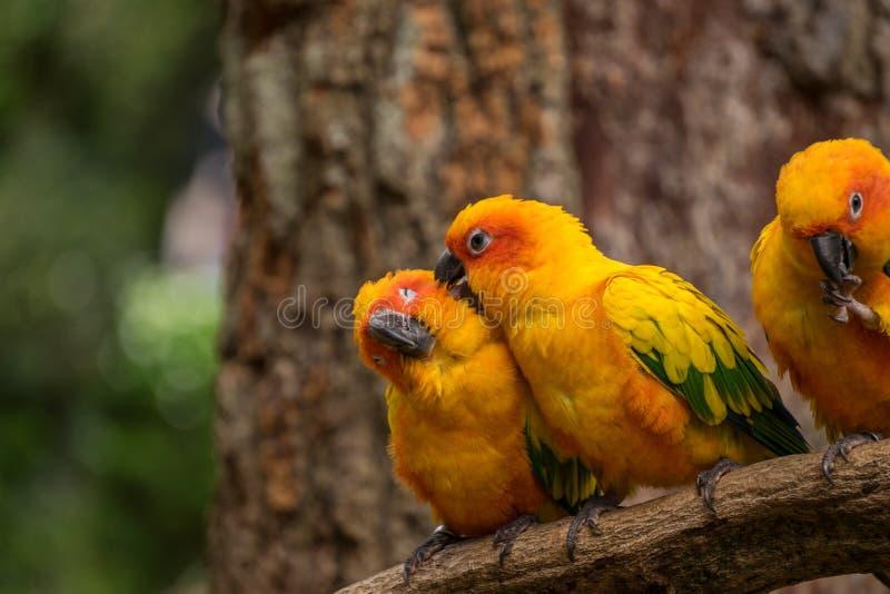 Schönes conure plappern Vögel auf Baumast nach und sollten Haustiervögel sein stockfotografie