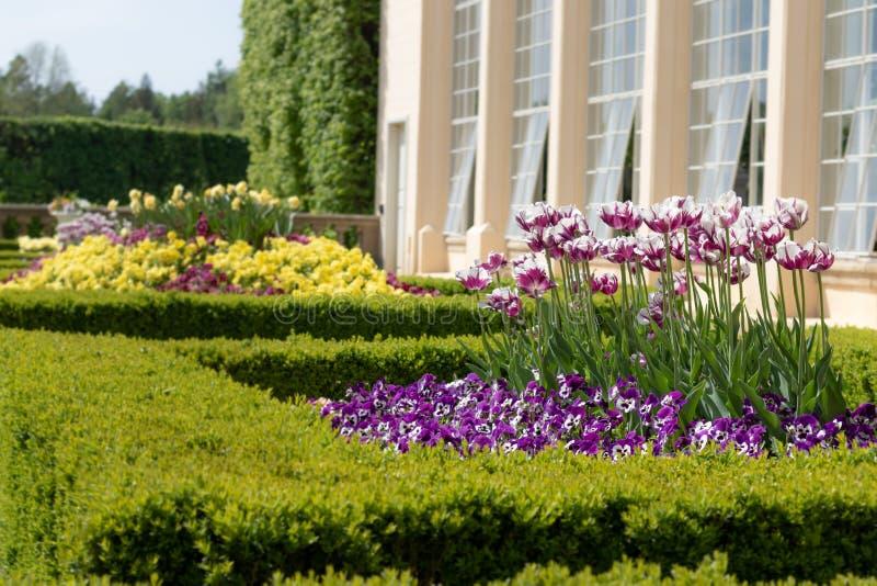 Schönes dekoratives Blumenbeet mit blühenden Frühlingsblumen Bunte Pansies und Tulpen mit Heckengrenze lizenzfreies stockfoto