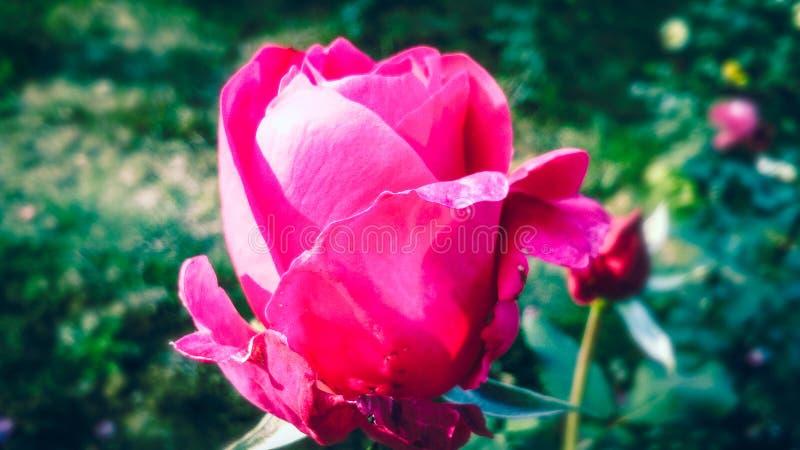 Schönes dunkles Rosa stieg mit schönem natürlichem Hintergrund stockfoto