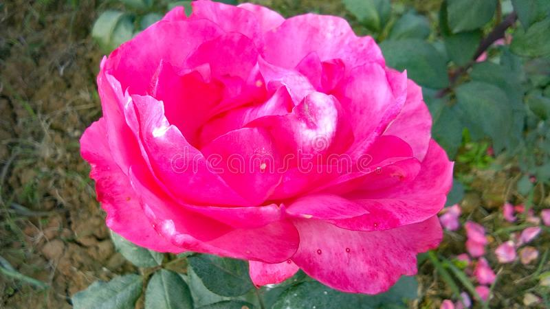 Schönes dunkles Rosa stieg mit schönem natürlichem Hintergrund lizenzfreies stockbild