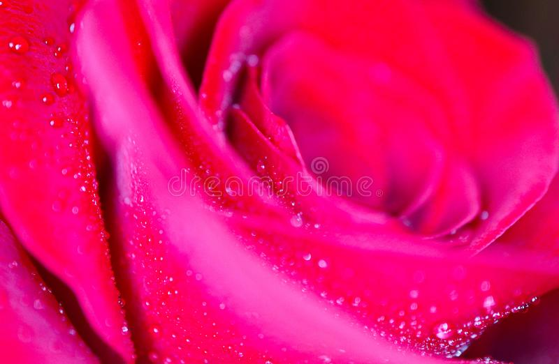 Schönes empfindliches Rotrosen-Blumenblumenblatt mit Tauregen lässt Mac fallen stockbild