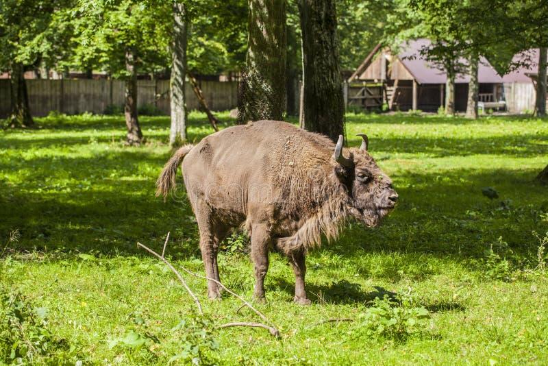 Schönes Exemplar des Bisons, Nationalpark Bialowieza stockfoto