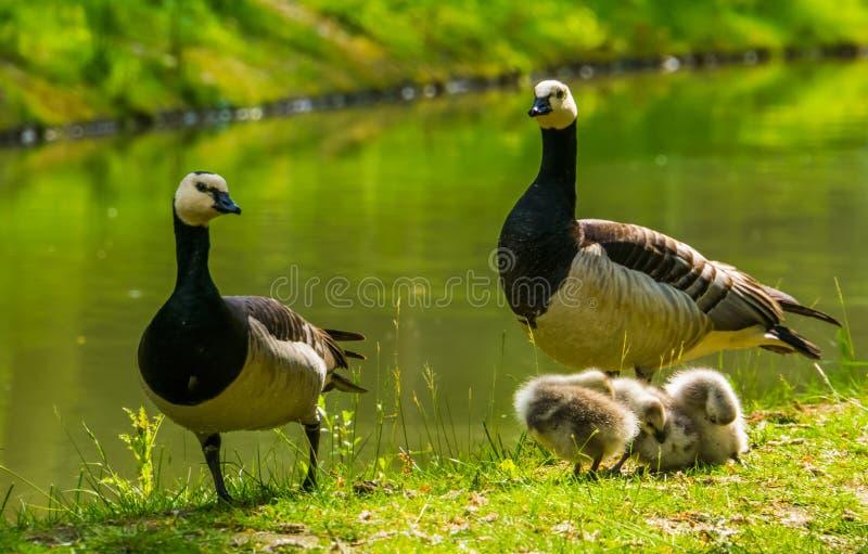 Schönes Familienporträt von gackernden Gänsen zusammen an der Wasserseite, Gans mit Gänschen, tropischer Vogel Specie von Amerika lizenzfreie stockfotografie