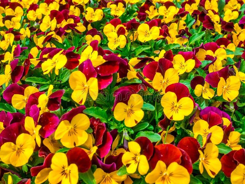 Schönes Feld der Blumenstiefmütterchen-Spitze unten des Abschlusses des grünen Grases oben verwischt als Hintergrund in der gelbe lizenzfreie stockfotos
