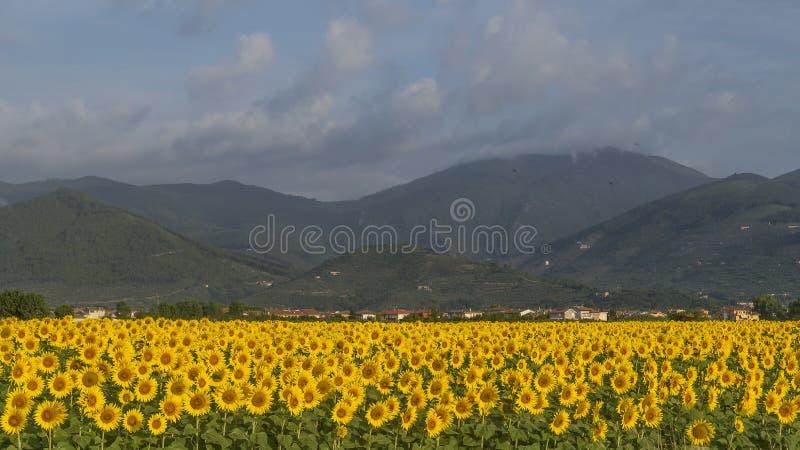 Schönes Feld von Sonnenblumen mit im Hintergrund Monte Serra bedeckt durch eine Wolke, Pisa, Toskana, Italien stockfoto