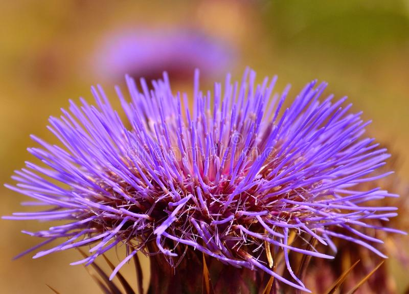 Schönes flowerhead der wilden Artischocke in der vollen Pracht lizenzfreie stockfotos