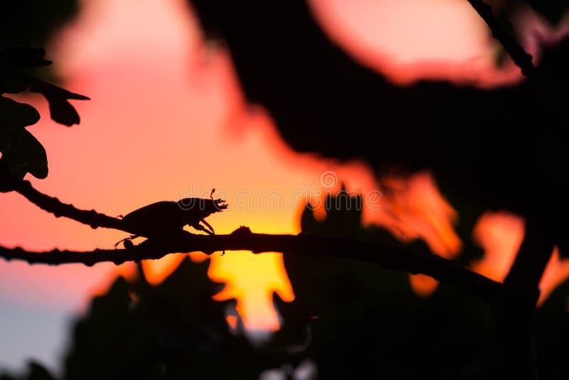 Schönes Foto eines weiblichen Hirschkäfers, Lucanus-Cervus im Sonnenuntergang stockfoto