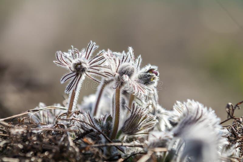 Schönes Frühlingsveilchen blüht Hintergrund Ost-pasqueflower lizenzfreie stockfotos