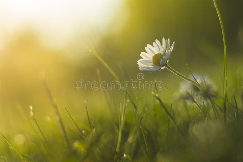 Schönes Gänseblümchen im Sommersonnenuntergang mit schönem Hintergrund lizenzfreie stockbilder