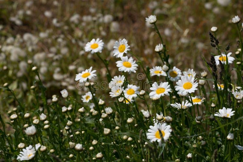 Schönes Gänseblümchenfeld in voller Blüte lizenzfreie stockfotos