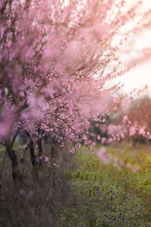 Schönes geblühtes Feld der Kirsche mit sunflare stockfotos