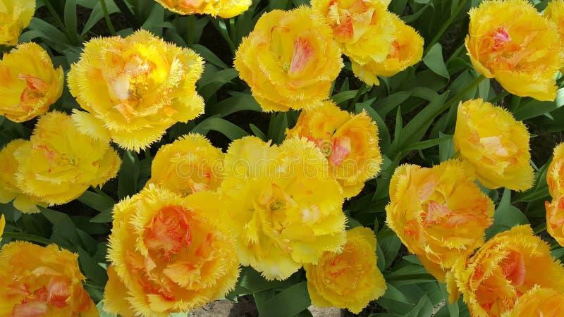 Schönes Gelb eingesäumte Tulpen stockbilder