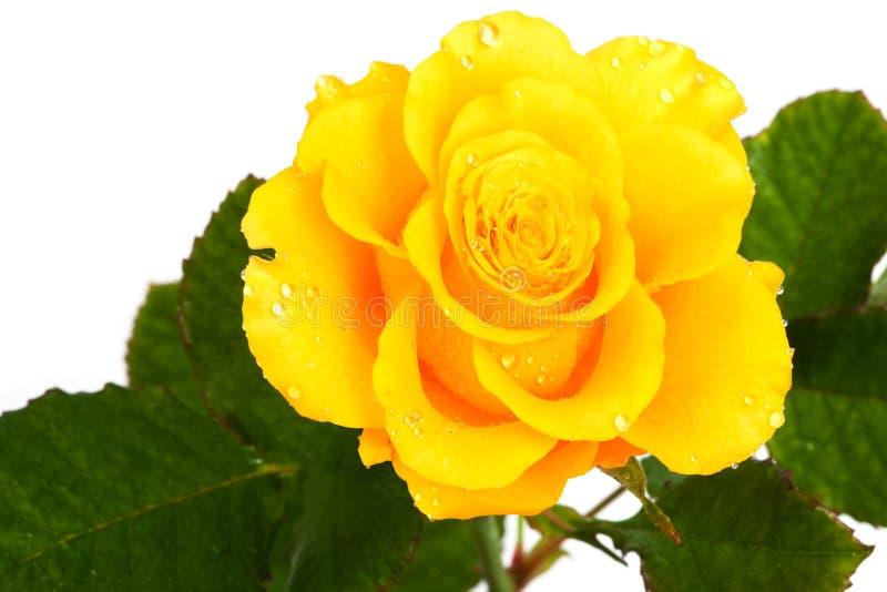 Schönes Gelb stieg lizenzfreie stockbilder