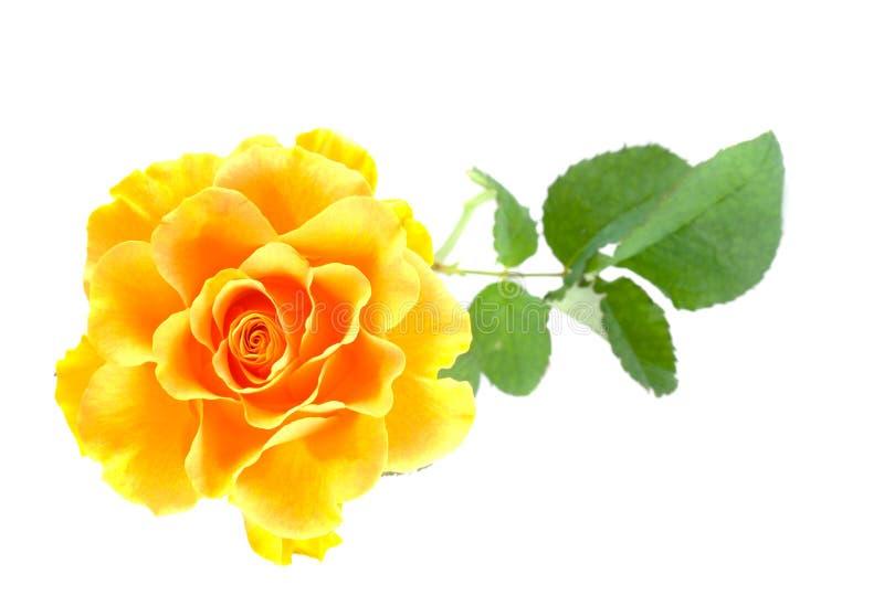 Schönes Gelb stieg. lizenzfreie stockfotos