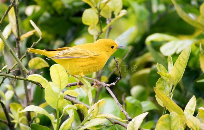 Schönes gelber Trällerer Setophaga petechia, das nach Nahrung sucht stockfotografie