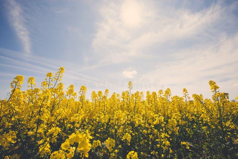 Schönes gelbes Feld mit blauem sonnigem Himmel stockfoto
